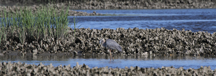 Great Blue Heron in Hewletts Creek